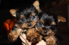 Teaspoon Yorkie Puppies