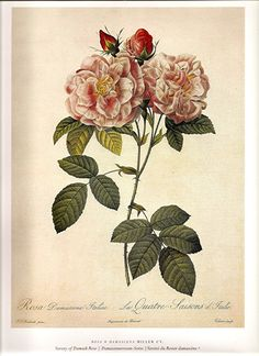 A beautiful vintage Damask Rose botanical illustration