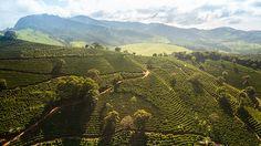 Fazenda de Café - Coffee Farm