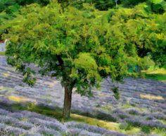 Lavender_DAP_Renoir