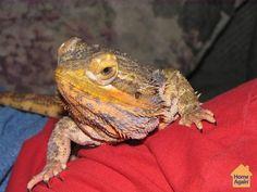 Spike the Lounge Lizard #MillionPets
