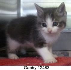 Gabby 12483 is an adoptable Domestic Short Hair Cat in Middleburg, FL.  ...