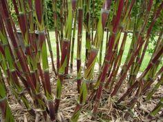 Chusquea-culeou-Chilean-Bamboo-