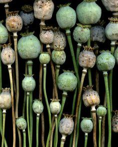 54534-20 Papaver somniferum by horticultural art, via Flickr    (four of swords)