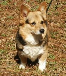 Bitty is an adoptable Welsh Corgi Dog in Edisto Island, SC.  Meet Bitty Corgi rescue Bitty is around five years old and is affectionate and independent. She will bark and charge first and ask question...