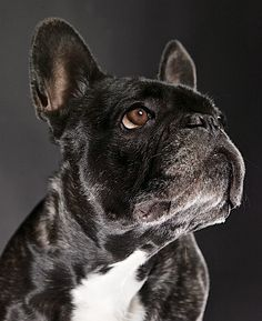 Jacky, French Bulldog, CC-BY-NC-SA @josef_hajda