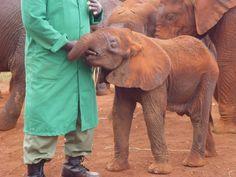 Elephant orphanage in Nairobi, Kenya