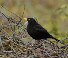 Short Verses, Blackbirds, Haiku, Beautiful Birds, Google Images, Garden, Animals, Animales, Animaux