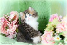 Shaded Golden & White Teacup Persian Kitten http://dollfacepersiankittens.com/colors/golden-white-bi-color-kittens/