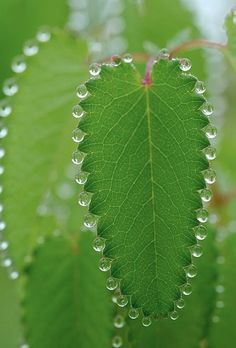 Morning Dew | Content in a Cottage....Candlewick leaves.