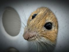 Mice have become the world's most used mammal in research.NEEDS TO STOP! MAD SCIENCE! CRUEL!