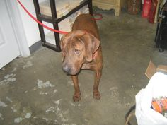 Plott Hound mix M 3 years named Buster in Summersville, WV @ Nicholas County Animal Shelter
