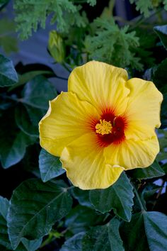 黄色いハイビスカスの花 / Free Stock Photos