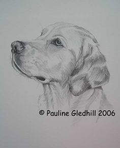 Pencil Drawings | Pet Portrait Dog Pencil Drawings by Pauline Gledhill