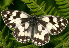 The Marbled-White (Melanargia galathea) is a butterfly in the family Nymphalidae. Found across most of Europe (It is not found in Ireland , North Britain and Scandinavia, Portugal or Spain ), south Russia, Asia Minor and Iran. There is an isolated population in Japan.
