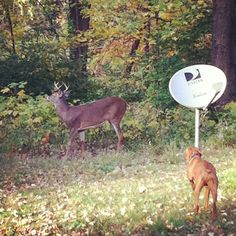 Fall mating season gives the male deer extra confidence. Our vizsla is pointing
