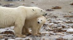 Two new cubs romp and play in their tundra exhibit at the Ouwehand Zoo in Rhenen, Netherlands, watched by their attentive mother Freedom. Polar Bears Live, Baby Polar Bears, Black Bear, Brown Bear, Baby Animals, Cute Animals, Wild Animals, Polar Bears International, Everything