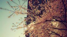 sakura. at the entrance of metro station-changping road. morning time maybe.