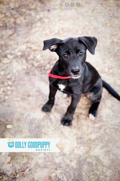Labrador mix. Female/ 6 mos. Rainy is a sweet girl who loves people, other dogs and playtime! Adoption fee: $150 which includes spay/neuter, vaccines and microchip. Located in Barnesville, GA. If interested, please send an e-mail to: dollyadoptions@gmail.com #DollyGoodpuppy #AdoptDontShop
