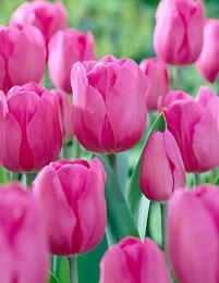 """Product: Triumph Tulip Bulbs """"Don Quichotte"""". Don Quichotte has deep pink-rose color flowers. Price is for 10 bulbs + SH. Planting Tulips, Tulips Garden, Cut Flower Garden, Daffodils, Flower Gardening, Organic Gardening, Colorful Plants, Colorful Garden, Spring Blooms"""