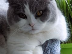I'm Lana, 9 months. I'm a scottish straigh cat. My color is grey and white.  Welcome to our page.