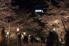 429:「ライトアップされた綺麗な桜を殆どの見物者がスマートフォンなどで夢中になって撮影しています。光り輝く桜のトンネルは正に100公園の桜です。」@岡崎公園