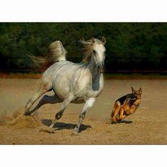 Herding an Arabian