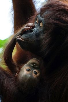 Orangutans: threatened with extinction and illegally traded. FOUR PAWS helps re-release orangutan orphans into the wild in Borneo To mark International Orangutan Day on 19 August, international animal welfare organisation FOUR PAWS is drawing attention to the plight of orangutans, a species threatened with extinction. #Act4Wildlife #orangutan #borneo