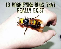 Oosuzume bachi (オオスズメバチ, 大雀蜂)Japanese Giant Hornet Not so wild about this terrorist of the insect world Wtf Fun Facts, True Facts, Random Facts, Creepy Facts, Random Humor, Random Stuff, Japanese Giant Hornet, Kill It With Fire, Bees And Wasps