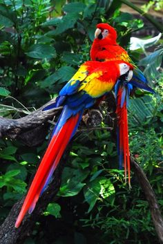 Scarlet macaw (Ara chloropterus) It is a psittaciformes bird, native of Panama, forests Brazil , Paraguay and Argentina. Occurs in Brazil from the Amazon to the west of Piauí, Bahia, Minas Gerais, Mato Grosso do Sul and São Paulo.