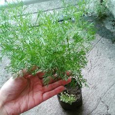 Dill is perfect for soups, salads, dressings, potato and rice. Just a bit of it goes a long way. Get it fresh! Price starts at Php60/seedling. Visit www.herbalandherbs.com for more info. Cooking Herbs, Be Perfect, Dressings, Soups, Herbalism, Salads, Potatoes, Rice, Organic