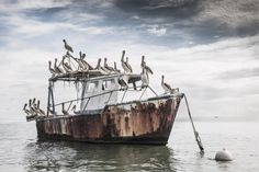 pelicanos en Livingstone, caribe de Guatemala