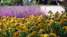 Rudbeckia&Lihtrum/perennials Perennials, Plants, Plant, Perennial, Planets