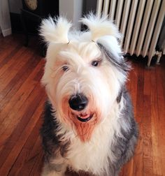 Old English Sheepdog with pigtails hahaha