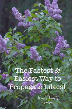 Propagate Lilacs fast and easy for swift bloom and more of what you love.  #lilacs #plantpropagation #gardening via @FlowerpatchPam