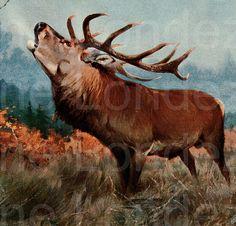 Antique Red Deer illustration natural history animal print vintage 1910s Lydekker #vintage #annelondez