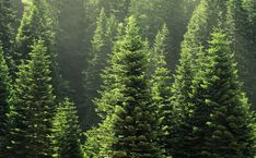 Search from 60 top Forest pictures and royalty-free images from iStock. Find high-quality stock photos that you won't find anywhere else. Conifer Trees, Evergreen Trees, Spruce Tree, Tree Photography, Watercolor Trees, Tree Forest, Photo Tree, Pine Tree, Image Now