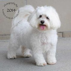 Meet Bailey Boo, an adorable Coton de Tulear. Bailey is 7 years old and very friendly and loving. She knows how to sit, laydown, and roll over. Sometimes she'll do all three when she is trying to earn a treat! Bailey loves all animals including cats and she is great with children too. She has been known to groom the other pets in the home, cats and dogs! She is working on her house manners and is crate and bell trained. She would love someone that is home often so she can get all the love…