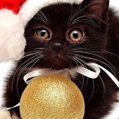 Christmas kitty!!     #cat #love #instapic #kitty #catlover #mybaby #baby #holly #instadaily #catstagram #vscodaily #animal #kittens #instalike #catsagram #tagsforlike #cateye #kitten #naturelovers #animals #vsco #tagsforlikesfslc #instagood #eyeofthetiger #eye #kittensofinstagram #catsofinstagram #cats_of_instagram #tagsforlikes #cats by fuzzy_furballs