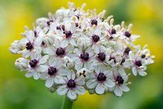Allium 'Silverspring'