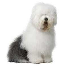 I am getting this dog at least once in my lifetime  Old English Sheepdog <3