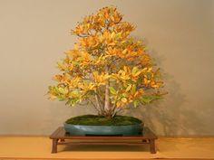 magnolia bonsai - Cerca con Google