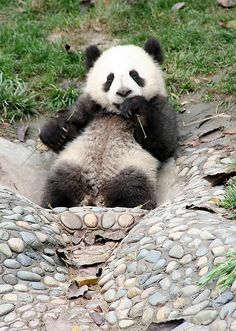 giant panda cub | Giant Panda Cub, Chengdu, Sichuan april 2009 350D 2121 | Flickr ...