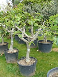 Vijgenboom (Ficus Carica) `Grande` hoogte 150-175cm stamomtrek 35-45cm Bonsai Fruit Tree, Espalier Fruit Trees, Fig Tree, Ficus, Fig Varieties, Modern Greenhouses, Vegetable Farming, Creative Landscape, Tree Care