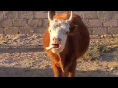 Bruce Almighty Cow