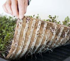 The Easy Way to Grow Microgreens at Home | Fibredust