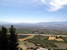 Olives trees as far as the eye can see.  Baeza, Spain.