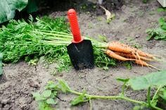 A nyár derekán, június végén, július elején elvégzett másodvetés jelentékenyen megnöveli a kertek termelékenységét. Kétségtelenül több figyelmet, gondoskodást és munkát igényel,... Garden Tools, Carrots, Vegetables, Gardening, Yard Tools, Lawn And Garden, Carrot, Vegetable Recipes, Veggies
