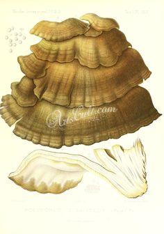 polyporus giganteus   ...