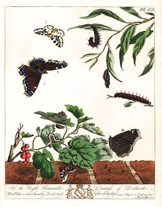 """Large magpie moth, Abraxas grossulariata, and Camberwell Beauty butterfly or grand surprise, Nymphalis antiopa. Handcoloured lithograph after an illustration by Moses Harris from """"The Aurelian; a Natural History of English Moths and Butterflies,"""" new edition edited by J. O. Westwood, published by Henry Bohn, London, 1840 Magpie, Natural History, Moth, Butterflies, Moose Art, English, London, Illustration, Nature"""